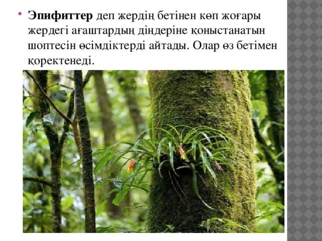 Эпифиттер деп жердің бетінен көп жоғары жердегі ағаштардың діңдеріне қоныстанатын шоптесін өсімдіктерді айтады. Олар өз бетімен қоректенеді.