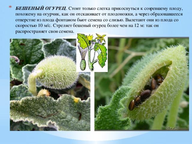БЕШЕНЫЙ ОГУРЕЦ . Стоит только слегка прикоснуться к созревшему плоду, похожему на огурчик, как он отскакивает от плодоножки, а через образовавшееся отверстие из плода фонтаном бьют семена со слизью. Вылетают они из плода со скоростью 10 м/с. Стреляет бешеный огурец более чем на 12 м: так он распространяет свои семена.