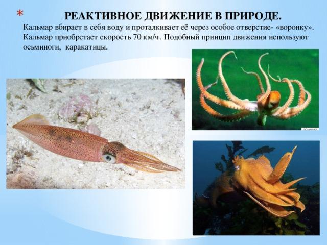 РЕАКТИВНОЕ ДВИЖЕНИЕ В ПРИРОДЕ.  Кальмар вбирает в себя воду и проталкивает её через особое отверстие- «воронку». Кальмар приобретает скорость 70 км/ч . Подобный принцип движения используют осьминоги, каракатицы.