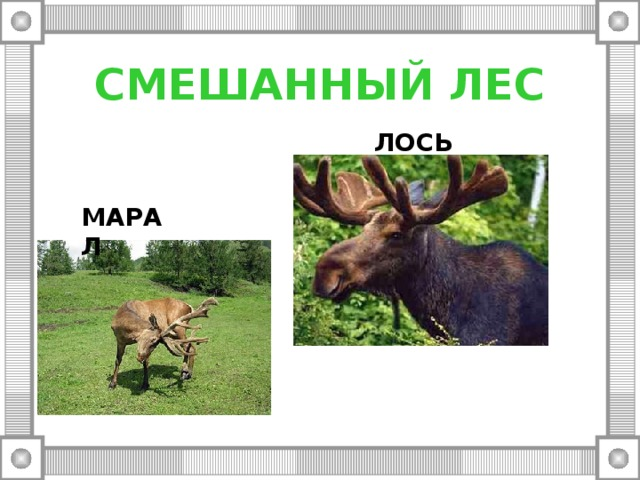 СМЕШАННЫЙ ЛЕС ЛОСЬ МАРАЛ