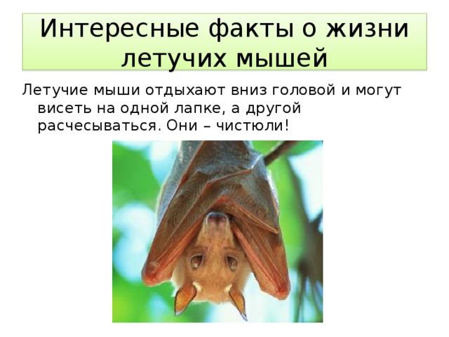 Интересные факты о жизни летучих мышей Летучие мыши отдыхают вниз головой и могут висеть на одной лапке, а другой расчесываться. Они – чистюли!