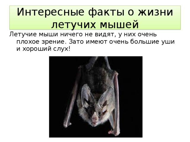 Интересные факты о жизни летучих мышей Летучие мыши ничего не видят, у них очень плохое зрение. Зато имеют очень большие уши и хороший слух!