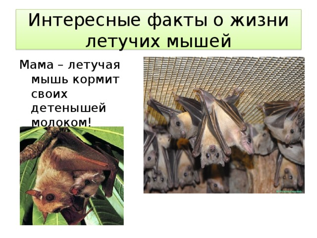 Интересные факты о жизни летучих мышей Мама – летучая мышь кормит своих детенышей молоком!