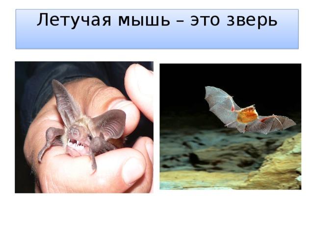 Летучая мышь – это зверь