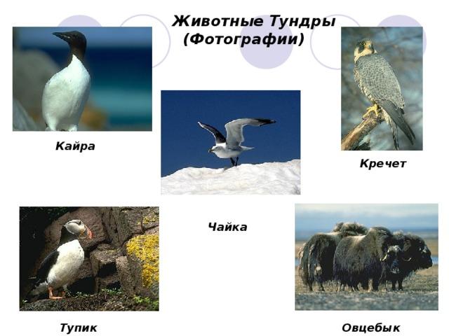 Животные Тундры  (Фотографии) Кайра Кречет Чайка Тупик Овцебык