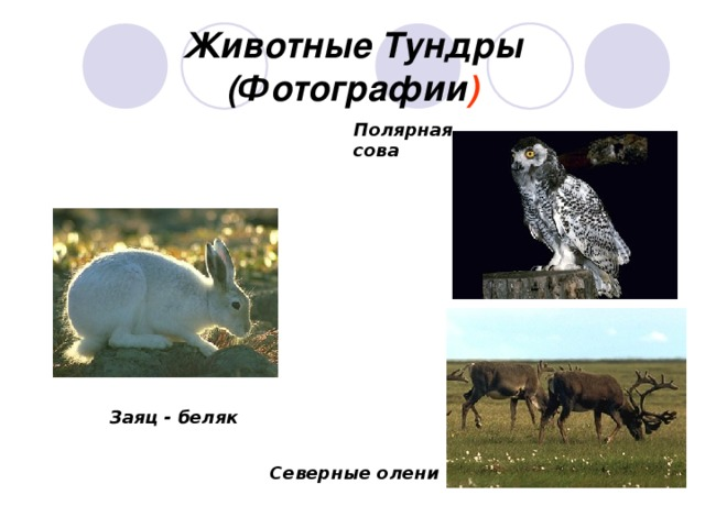 Животные Тундры  (Фотографии ) Полярная сова Заяц - беляк Северные олени