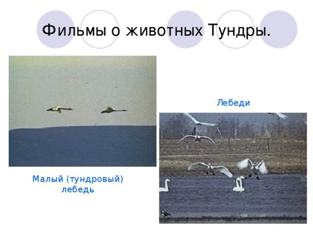 Фильмы о животных Тундры. Лебеди Малый (тундровый) лебедь