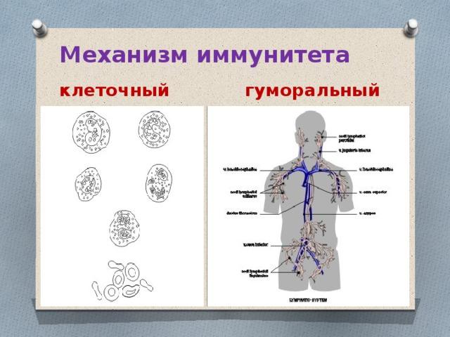 Механизм иммунитета  клеточный  гуморальный