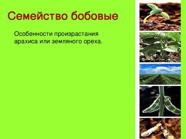 Особенности произрастания арахиса или земляного ореха.
