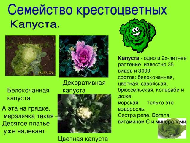 Капуста - одно и 2х-летнее растение. известно 35 видов и 3000 сортов: белокочанная, цветная, савойская, брюссельская, кольраби и доже морская  только это водоросль. Сестра репе. Богата витамином С и минералами. Декоративная капуста Белокочанная капуста А эта на грядке,  мерзлячка такая –  Десятое платье  уже надевает.    Цветная капуста