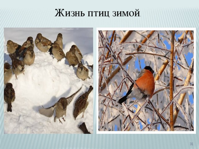 Жизнь птиц зимой .