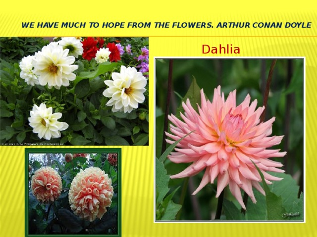 We have much to hope from the flowers. Arthur Conan Doyle   Dahlia
