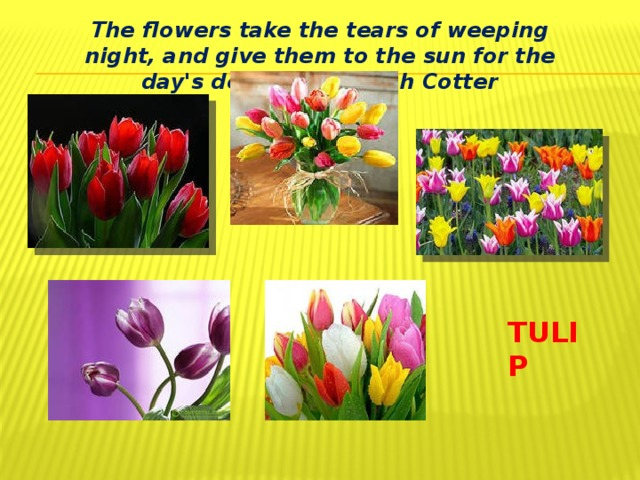 The flowers take the tears of weeping night, and give them to the sun for the day's delight.. Joseph Cotter TULIP