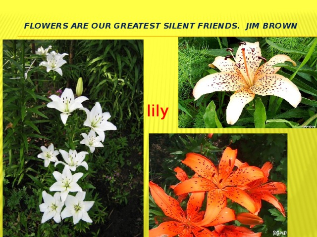 Flowers are our greatest silent friends. Jim Brown   lily