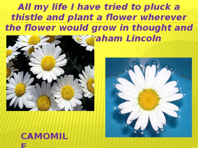 All my life I have tried to pluck a thistle and plant a flower wherever the flower would grow in thought and mind. ~ Abraham Lincoln CAMOMILE
