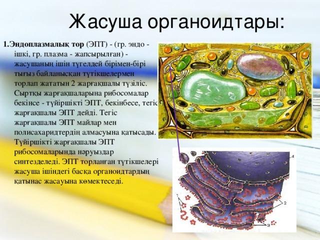 Жасуша органоидтары: 1.Эндоплазмалық тор (ЭПТ) - (гр. эндо - ішкі, гр. плазма - жапсырылған) - жасушаның ішін түгелдей бірімен-бірі тығыз байланысқан түтікшелермен торлап жататын 2 жарғақшалы түзіліс. Сыртқы жарғақшаларына рибосомалар бекінсе - түйіршікті ЭПТ, бекінбесе, тегіс жарғақшалы ЭПТ дейді. Тегіс жарғақшалы ЭПТ майлар мен полисахаридтердің алмасуына қатысады. Түйіршікті жарғақшалы ЭПТ рибосомаларында нәруыздар синтезделеді. ЭПТ торланған түтікшелері жасуша ішіндегі басқа органоидтардың қатынас жасауына көмектеседі.