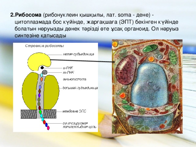 2.Рибосома (рибонуклеин қышқылы, лат. soma - дене) - цитоплазмада бос күйінде, жарғақшаға (ЭПТ) бекінген күйінде болатын нөруызды дөнек тәрізді өте ұсақ органоид. Ол нәруыз синтезіне қатысады