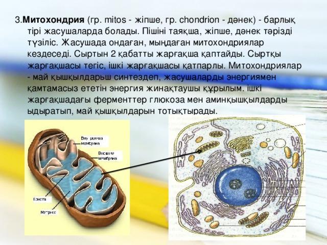 3. Митохондрия (гр. mitos - жіпше, гр. chondrion - дәнек) - барлық тірі жасушаларда болады. Пішіні таяқша, жіпше, дәнек тәрізді түзіліс. Жасушада ондаған, мыңдаған митохондриялар кездеседі. Сыртын 2 қабатты жарғақша қаптайды. Сыртқы жарғақшасы тегіс, ішкі жарғақшасы қатпарлы. Митохондриялар - май қышқылдарьш синтездеп, жасушаларды энергиямен қамтамасыз ететін энергия жинақтаушы құрылым. ішкі жарғақшадағы ферменттер глюкоза мен аминқышқылдарды ыдыратып, май қышқылдарын тотықтырады.