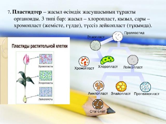 7 . Пластидтер – жасыл өсімдік жасушасының тұрақты органоиды. 3 типі бар: жасыл – хлоропласт, қызыл, сары – хромопласт (жемісте, гүлде), түссіз лейкопласт (тұқымда).