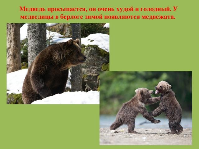 Медведь просыпается, он очень худой и голодный. У медведицы в берлоге зимой появляются медвежата.
