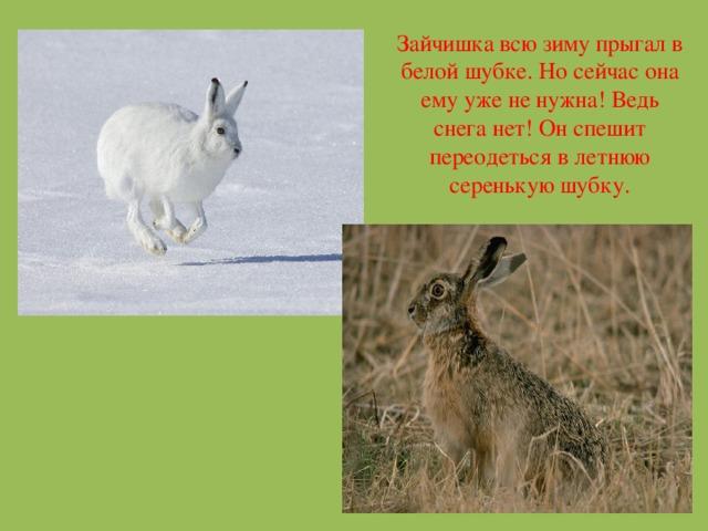 Зайчишка всю зиму прыгал в белой шубке. Но сейчас она ему уже не нужна! Ведь снега нет! Он спешит переодеться в летнюю серенькую шубку.