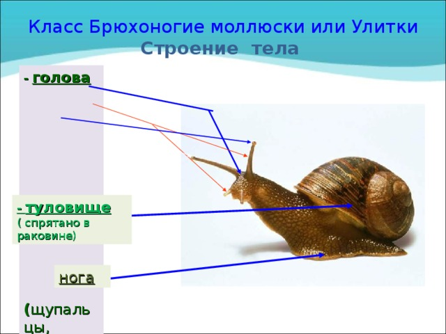 Класс Брюхоногие моллюски или Улитки  Строение тела - голова ( щупальцы, глаза,  рот) - туловище ( спрятано в раковине) нога