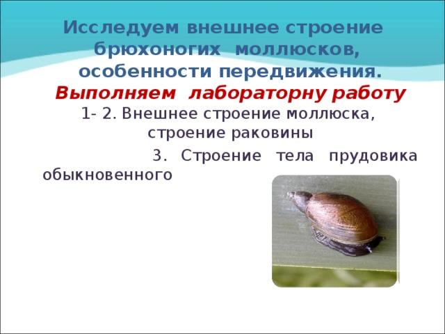 Исследуем внешнее строение  брюхоногих моллюсков, особенности передвижения.  Выполняем лабораторну работу  1- 2. Внешнее строение моллюска, строение раковины  3. Строение тела прудовика обыкновенного