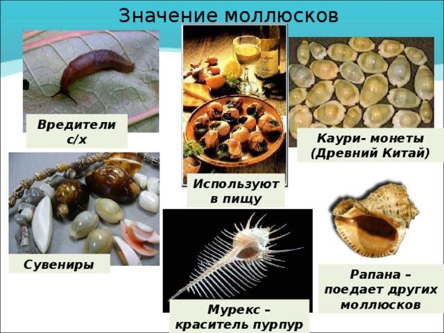 Значение моллюсков Вредители с/х Каури- монеты (Древний Китай) Используют в пищу Сувениры Рапана – поедает других моллюсков Мурекс – краситель пурпур