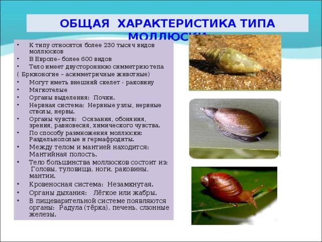 ОБЩАЯ ХАРАКТЕРИСТИКА ТИПА МОЛЛЮСКИ К типу относятся более 230 тысяч видов моллюсков В Европе– более 600 видов Тело имеет двустороннюю симметрию тепа (  Брюхоногие – асимметричные животные)