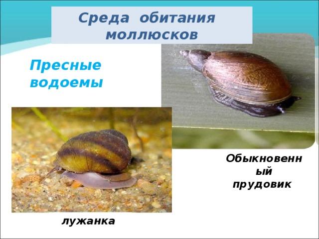 Среда обитания моллюсков Пресные водоемы Обыкновенный прудовик лужанка