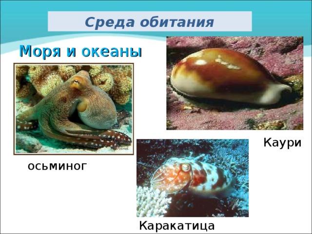 Среда обитания Моря и океаны Каури осьминог Каракатица