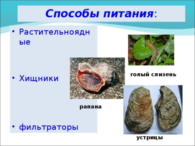 Способы питания : Растительноядные   Хищники    фильтраторы                   голый слизень рапана устрицы