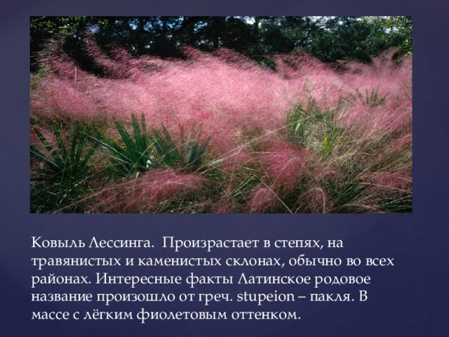 Ковыль Лессинга. Произрастает в степях, на травянистых и каменистых склонах, обычно во всех районах. Интересные факты Латинское родовое название произошло от греч. stupeion – пакля. В массе с лёгким фиолетовым оттенком.