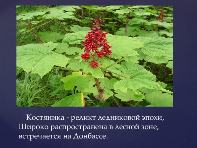 Костяника - реликт ледниковой эпохи, Широко распространена в лесной зоне, встречается на Донбассе.