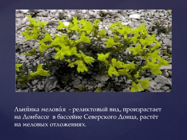 Льня́нка мелова́я - реликтовый вид, произрастает на Донбассе в бассейне Северского Донца, растёт на меловых отложениях.