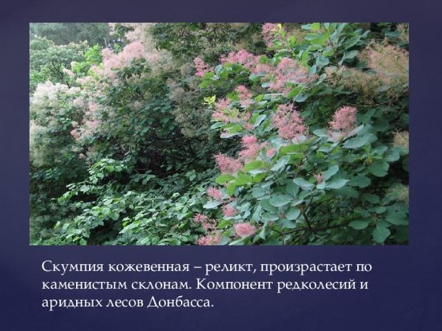 Скумпия кожевенная – реликт, произрастает по каменистым склонам. Компонент редколесий и аридных лесов Донбасса.