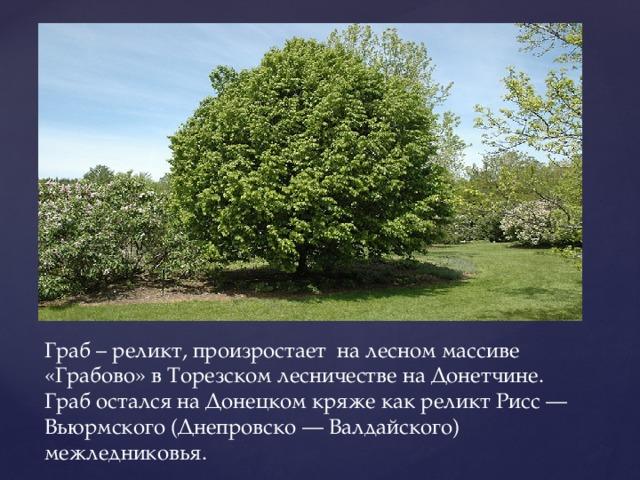 Граб – реликт, произростает на лесном массиве «Грабово» в Торезском лесничестве на Донетчине. Граб остался на Донецком кряже как реликт Рисс — Вьюрмского (Днепровско — Валдайского) межледниковья.