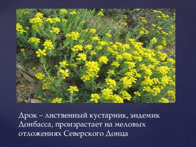 Дрок – лиственный кустарник, эндемик Донбасса, произрастает на меловых отложениях Северского Донца