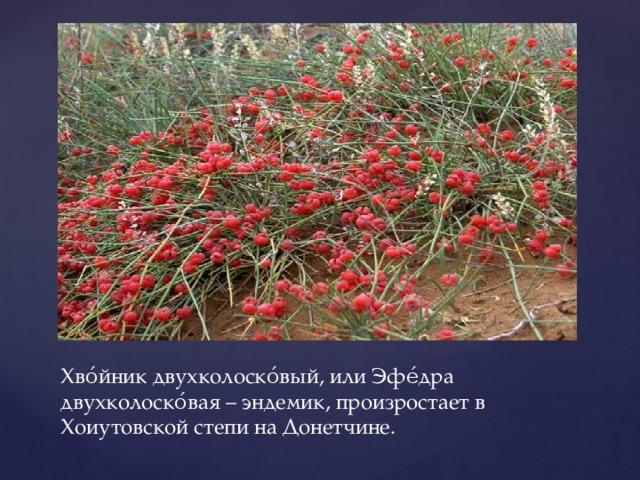 Хво́йник двухколоско́вый, или Эфе́дра двухколоско́вая – эндемик, произростает в Хоиутовской степи на Донетчине.