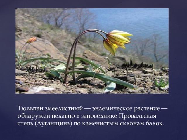 Тюльпан змеелистный — эндемическое растение — обнаружен недавно в заповеднике Провальская степь (Луганщина) по каменистым склонам балок.