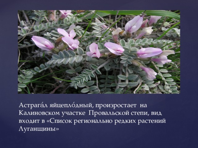 Астрага́л яйцепло́дный, произростает на Калиновском участке Провальской степи, вид входит в «Список регионально редких растений Луганщины»