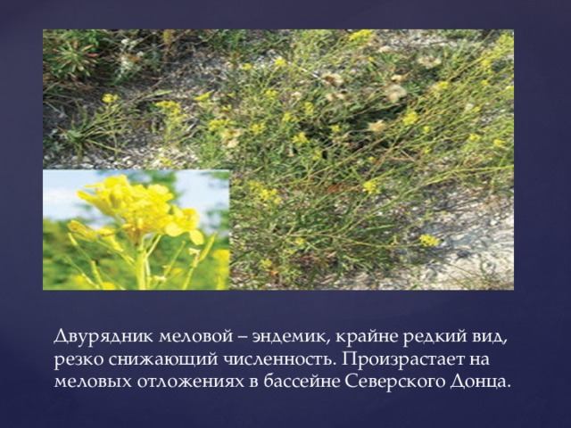 Двурядник меловой – эндемик, крайне редкий вид, резко снижающий численность. Произрастает на меловых отложениях в бассейне Северского Донца.