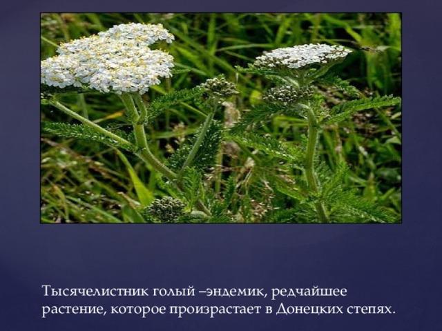 Тысячелистник голый –эндемик, редчайшее растение, которое произрастает в Донецких степях.