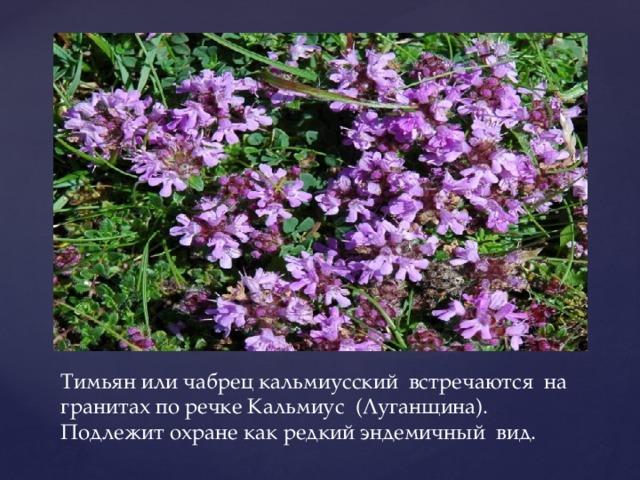 Тимьян или чабрец кальмиусский встречаются на гранитах по речке Кальмиус (Луганщина). Подлежит охране как редкий эндемичный вид.