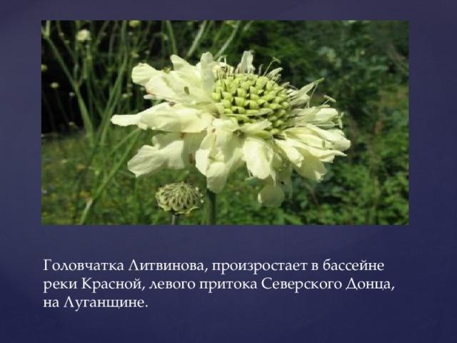 Головчатка Литвинова, произростает в бассейне реки Красной, левого притока Северского Донца, на Луганщине.