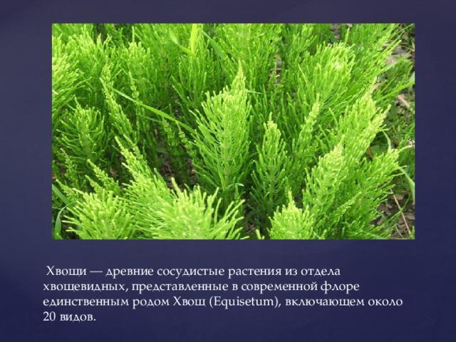Хвощи — древние сосудистые растения из отдела хвощевидных, представленные в современной флоре единственным родом Хвощ (Equisetum), включающем около 20 видов.