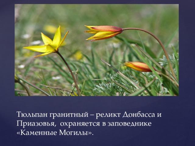 Тюльпан гранитный – реликт Донбасса и Приазовья, охраняется в заповеднике «Каменные Могилы».