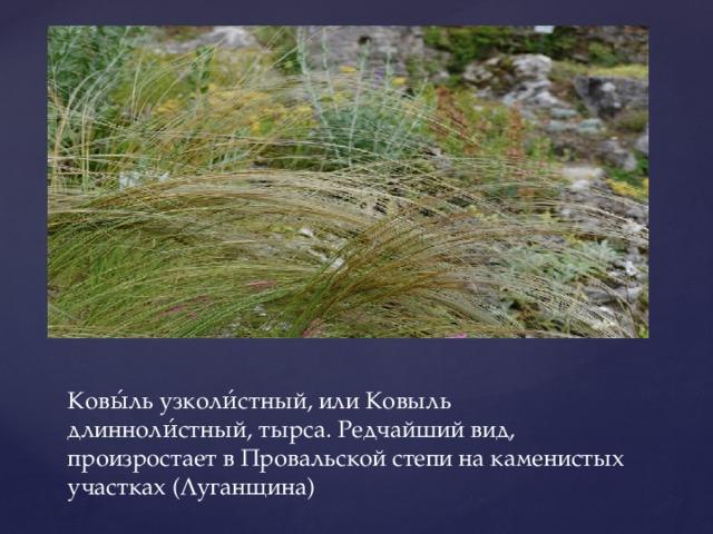 Ковы́ль узколи́стный, или Ковыль длинноли́стный, тырса. Редчайший вид, произростает в Провальской степи на каменистых участках (Луганщина)