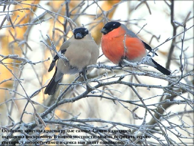 Особенно заметны красногрудые самцы. Самки у снегирей окрашены поскромнее. В нашей местности, можно встретить серого снегиря, у которого самец и самка выглядят одинаково.