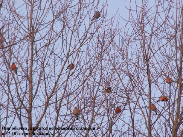 Они обычно держатся небольшими стайками по 7-10 птичек в каждой.